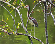 Gray Heron Posters - Out on a Limb Poster by Al Powell Photography USA