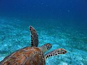 Green Sea Turtle Photos - Out To Sea by Kimberly Mohlenhoff