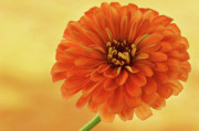 Indiana Flowers Prints - Outrageous Orange Print by Sandy Keeton