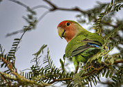 Peach-faced Lovebird Prints - Over My Shoulder  Print by Saija  Lehtonen