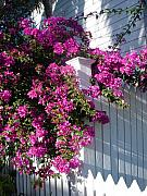 Bougainvilleas Prints - Over the fence Print by Susanne Van Hulst