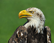 Eagle-eye Metal Prints - Over The Shoulder Metal Print by Tony Beck