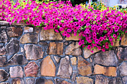 Fushia Prints - Over The Wall Print by Jan Amiss Photography