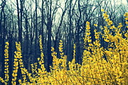 Forsythia Photos - Overcoming Winter by Marianne Beukema