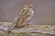 Sparrow Photo Prints - Overlooked Beauty Print by Paul W Sharpe Aka Wizard of Wonders