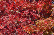 Red Leaves Photos - Overpopulation by Donna Blackhall