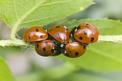 Mortality Framed Prints - Overwintering Ladybird Aggregation Framed Print by Dr Jeremy Burgess