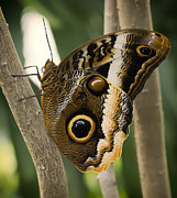 Butterfly House Prints - Owl Butterfly 1 Print by Bill Tiepelman