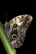 Deterrent Posters - Owl Butterfly Poster by Dr Keith Wheeler
