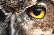Nocturnal Animal Prints - Owl Eye Print by Hans Halberstadt and Photo Researchers