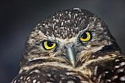 Yellow Beak Photos - Owl Face to Face by Douglas Barnett