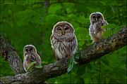 Owlets Framed Prints - Owl Family Framed Print by Ron Jones