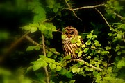 Owl Picture Prints - Owl Print by Greg Moores