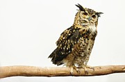 Full-length Framed Prints - Owl Image Of White Background Framed Print by Graph_1980