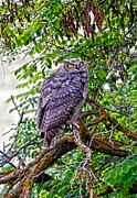 Barn Pen And Ink Photo Posters - Owl In A Tree Poster by Athena Mckinzie