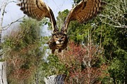 Owl In Flight Print by Paulette  Thomas