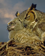 Great-horned Owls Framed Prints - Owl Mother And Nestling Framed Print by Larry Linton