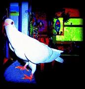 YoMamaBird Rhonda - Owl Pigeon