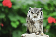 Owl With Blurred Background Print by Copyrights(c) All rights reserved by Haruhisa Yamaguchi