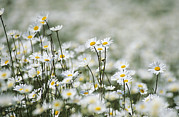 Ox-eye Prints - Ox-eye Daisies (leucanthemum Vulgare) Print by Adrian Bicker