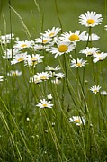 Chrysanthemum Leucanthemum Acrylic Prints - Ox-eye Daisies (leucanthemum Vulgare) Acrylic Print by Bob Gibbons