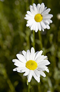 Ox-eye Prints - Ox-eye Daisy (leucanthemum Vulgare) Print by Colin Cuthbertdilston Physic Garden
