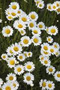 Ox-eye Prints - Ox-eyed Daisies, Banff National Park Print by Darwin Wiggett