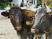 Glouster Metal Prints - Oxen Pair Metal Print by Sally Weigand
