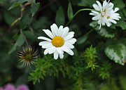 Chrysanthemum Leucanthemum Acrylic Prints - Oxeye Daisy Daniel Boone Inn - c9965b Acrylic Print by Paul Lyndon Phillips