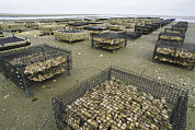 Agricultural Structures Posters - Oyster Beds Exposed At Low Tide Poster by Darlyne A. Murawski
