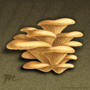 Earth Tones Drawings Prints - Oyster Mushrooms Print by Marshall Robinson