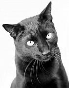 Black Cats Framed Prints - Pablo  Framed Print by Heather S Huston
