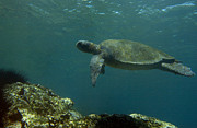 Green Sea Turtle Photos - Pacific Green Sea Turtle Chelonia Mydas by Pete Oxford