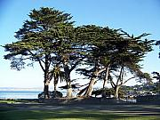 Maggie Cruser - Pacific Grove Cypress...
