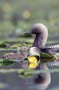 Baby Bird Prints - Pacific Loon Gavia Pacifica Parent Print by Michael Quinton