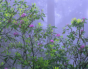 Species: S. Sempervirens Posters - Pacific Rhododendron Flowering In Misty Poster by Tim Fitzharris