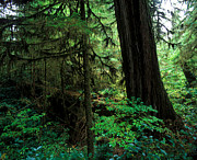 Fir Trees Prints - Pacific Rim National Park 1 Print by Terry Elniski