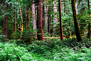 Fir Trees Photos - Pacific Rim National Park 10 by Terry Elniski