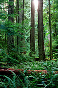 Fir Trees Photos - Pacific Rim National Park 12 by Terry Elniski