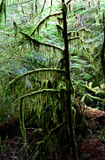 Fir Trees Photos - Pacific Rim National Park 13 by Terry Elniski