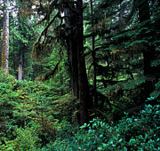 Fir Trees Photos - Pacific Rim National Park 3 by Terry Elniski