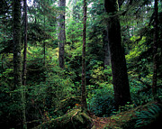 Fir Trees Photos - Pacific Rim National Park 4 by Terry Elniski