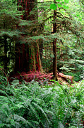 Fir Trees Photos - Pacific Rim National Park 8 by Terry Elniski