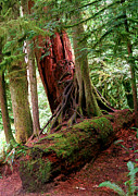 Fir Trees Photos - Pacific Rim National Park 9 by Terry Elniski