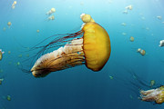 Sea Nettle Framed Prints - Pacific Sea Nettle Chrysaora Fuscescens Framed Print by Richard Herrmann