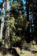 Mt Hood National Forest Prints - Pacific Yew Forest Print by Science Source