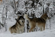 Husky Prints - Pack - 2 - Print by Tanja Hymel