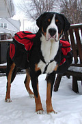 Greater Swiss Mountain Dog Prints - Pack Dog Print by Jonathan Boyd