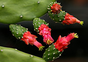 Florida Flower Posters - Paddle Cactus Flowers Poster by Sabrina L Ryan