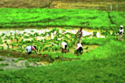 Rice Paddy Prints - Paddy Workers Print by Steve Harrington